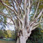alt='beech_tree'