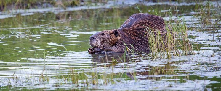 beaver, lake