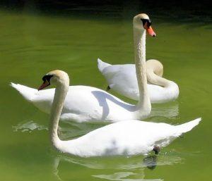 swans in spain